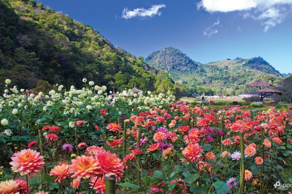 Flower fields Chiang Mai